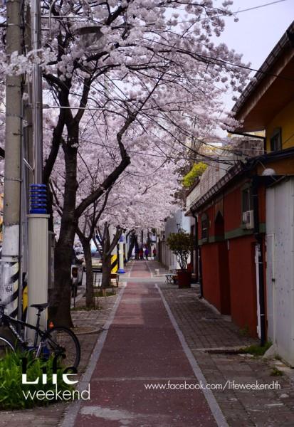 sakura-korea44